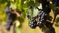 The DNA of pinot noir grapes features viruses from millions of years ago