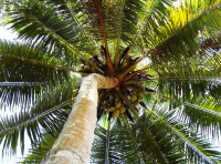 90% of the world's coconut needs are met by Asia-Pacific, but the majority of the trees are ageing, planted after WW2