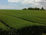 Japanese tea fields.  Photo courtesy of Calli O'Brien.
