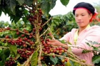 Nestlé brewing hot cup of promise for Chinese coffee growers